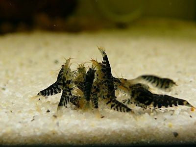 "Black Shushi Shrimp ""Neocaridina sp"""