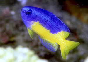 "Blue and Gold Damselfish ""Pomacentrus coelestis"""