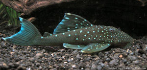 "L128 - Blue Phantom Pleco ""Hemiancistrus sp."""