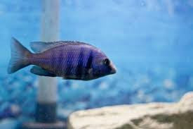 "Blue Speckled Cruiser - ""Placidochromis phenochilus"""