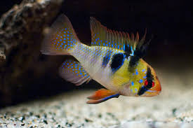 "German Blue Ram ""Mikrogeophagus ramirezi"""