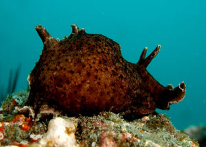 "California Sea Hare ""Aplysia californica"""