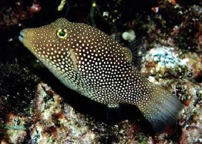 "Spotted Sharpnosed Puffer ""Canthigaster punctatissima"""