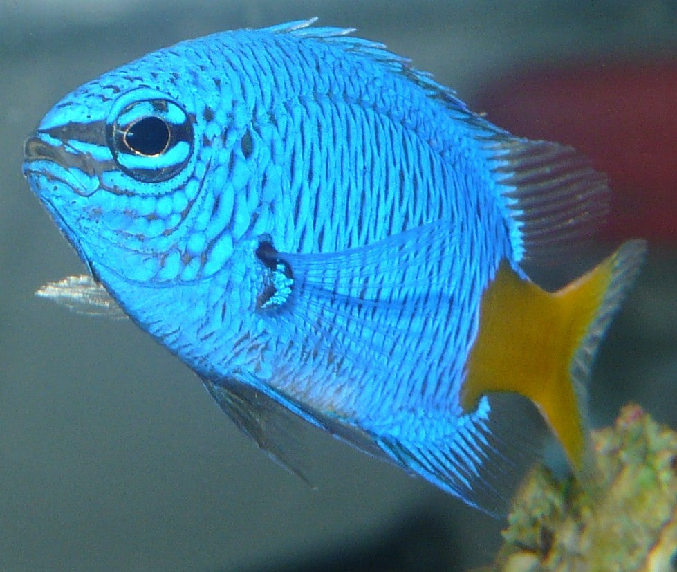 "Yellowtail Damselfish ""Chrysiptera parasema"""