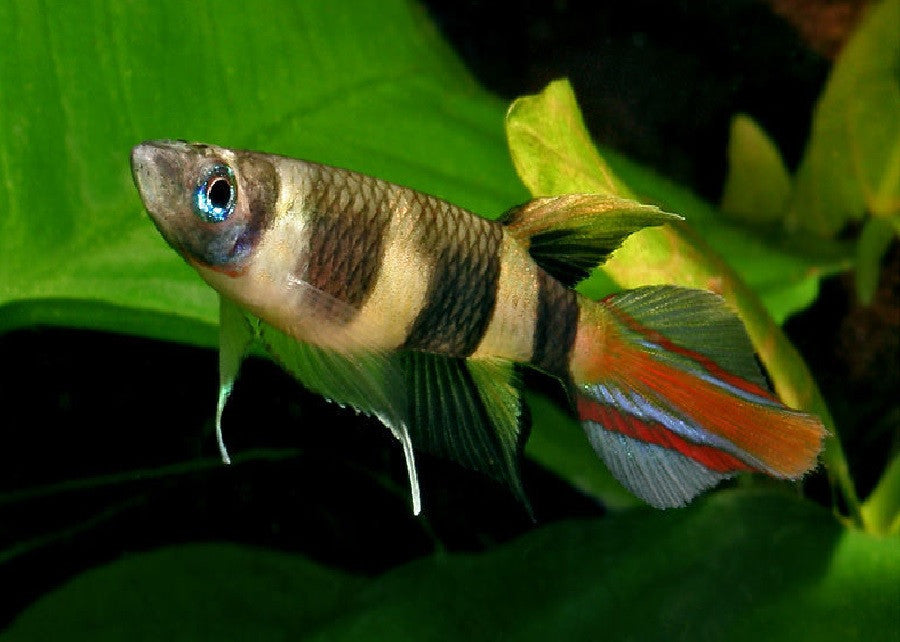 "Clown Killifish ""Aplocheilus annulatus"""
