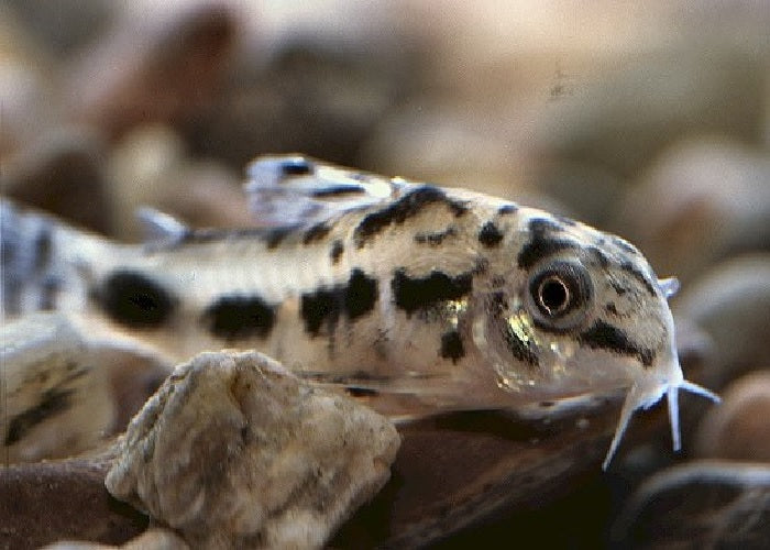 "Salt and Pepper Pygmy Catfish ""Corydoras Habrosus'- 1"""