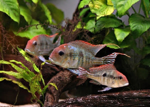 "Red Head Tapajos ""Geophagus sp."""