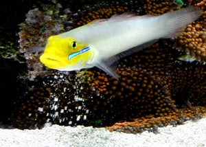 "Golden Head Sleeper Goby '""Valenciennea strigata"" (Lg)"