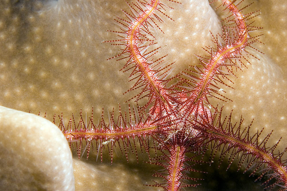 Brittle Starfish