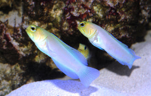 "Yellowhead ""Pearly"" Jawfish ""Opistognathus  Aurifrons"""