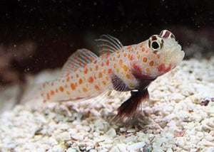 "Orange Spot Prawn Goby ""Amblyeleotris guttata"""