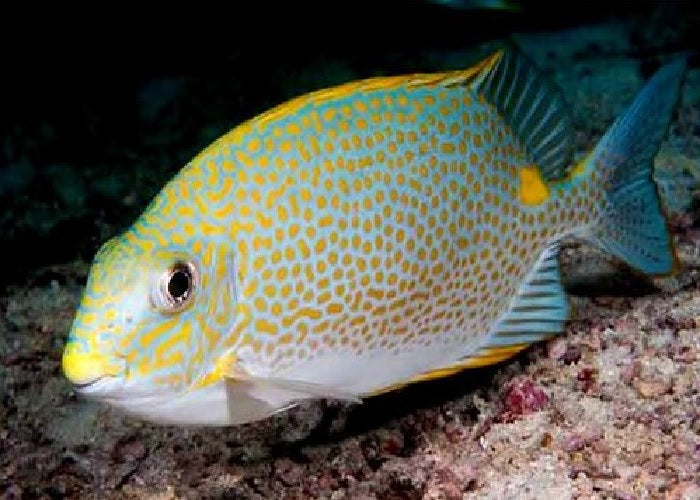 "Orange Spotted Rabbitfish ""Siganus guttatus"""
