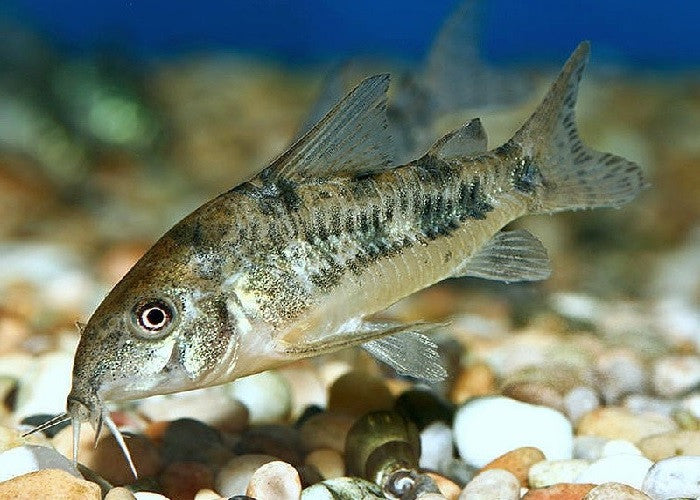"Peppered Cory Catfish ""Corydoras paleatus"""