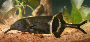 "Peters' Elephantnose Fish ""Gnatthonemus petersii"" (Double Nose)"