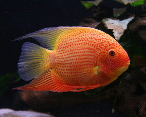 "Gold & Red Spotted Severum ""Heros severus"""