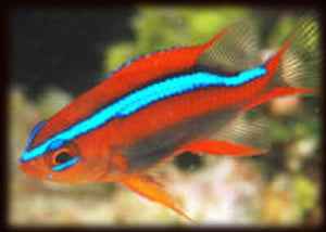 "Red Chromis Damselfish ""Neoglyphidodon crossi"""