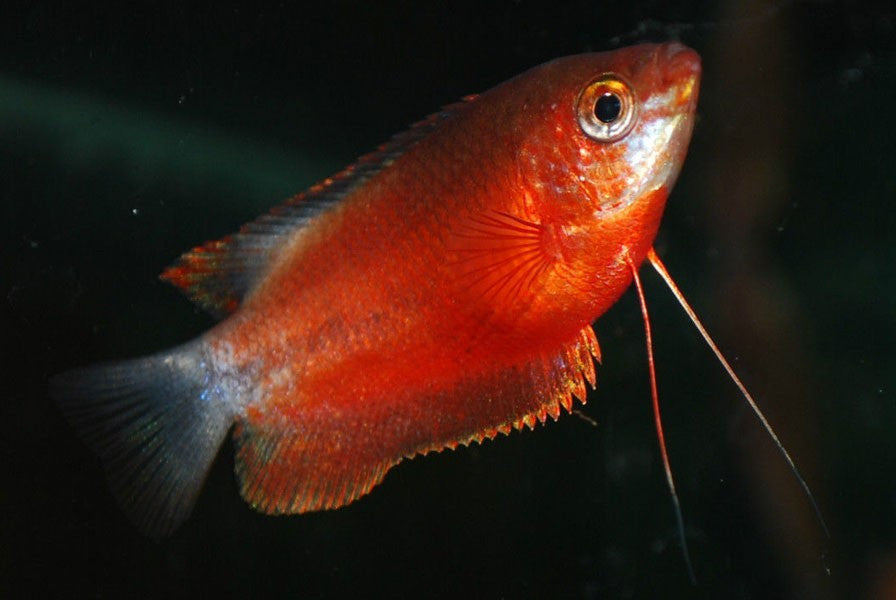 "Red Honey Gourami ""Colisa sota var"""
