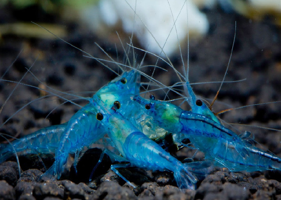 "Blue Sakura Shrimp ""Caridina sp."""