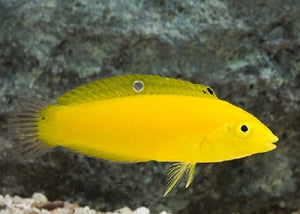 "Canary Wrasse ""Halichoeres chrysus"""