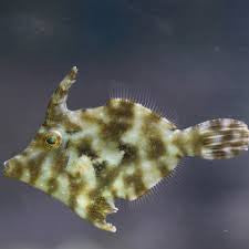 "Aiptasia Leatherjacket Filefish ""Acreichthys tomentosus"""