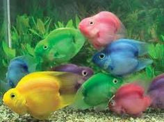 Colored Jellybean Parrotfish - Hybrid