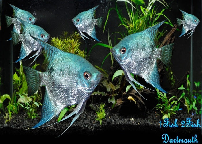 "Blue Angelfish ""Pterophyllum Scalare"""