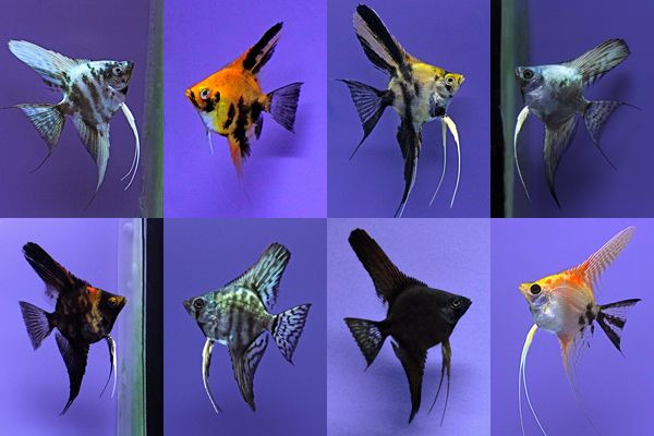 "Assorted Angelfish "" Pterophyllum scalare"""