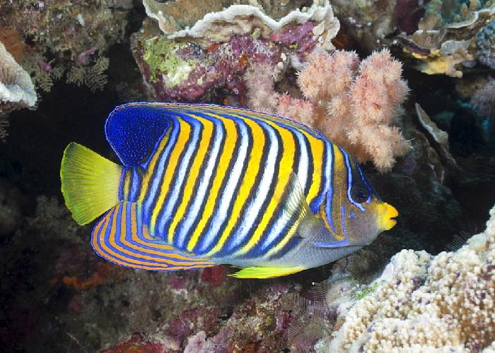 "Regal Angelfish ""Pygoplites diacanthus"""