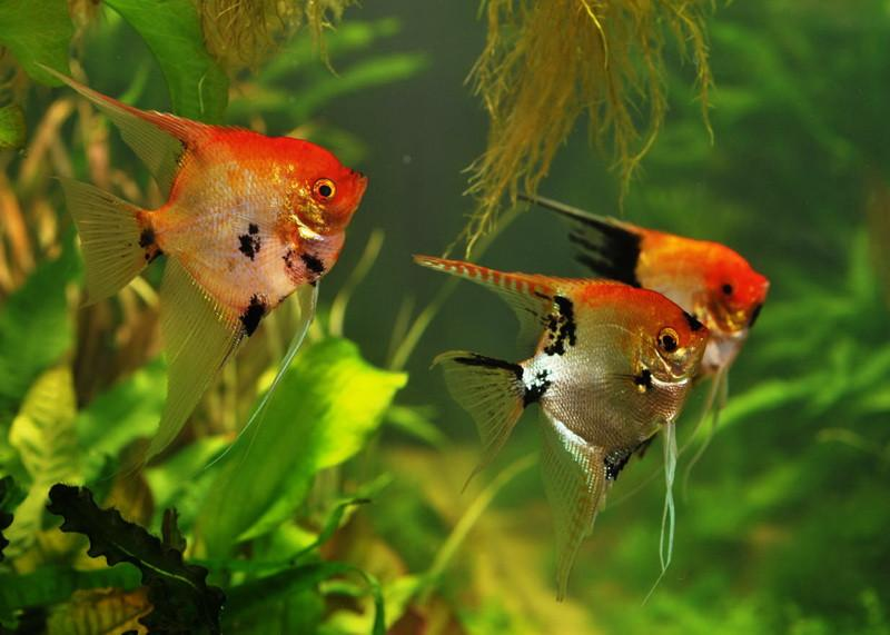 "Koi Angelfish ""Pterophyllum scalare"""
