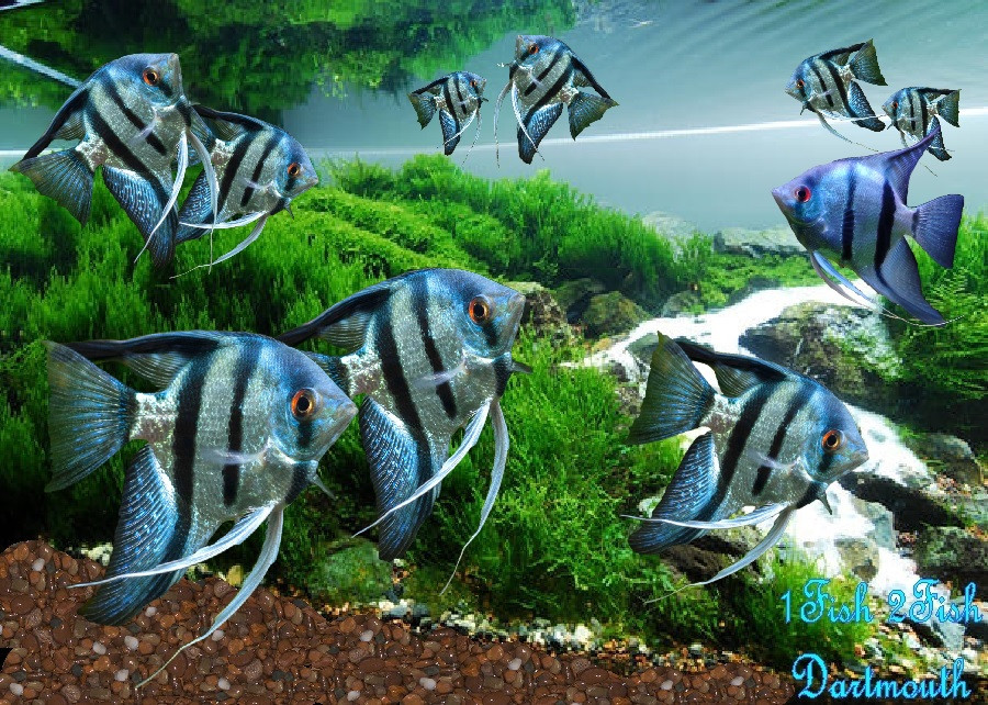"Blue Zebra Angelfish ""Pterophyllum Scalare"""