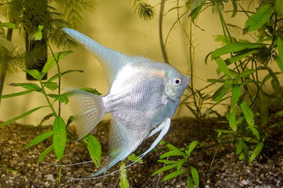 "Platinum Angelfish ""Pterophyllum Scalare""-"