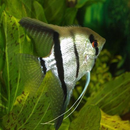 "Common Angelfish ""Pterophyllum Scalare"""