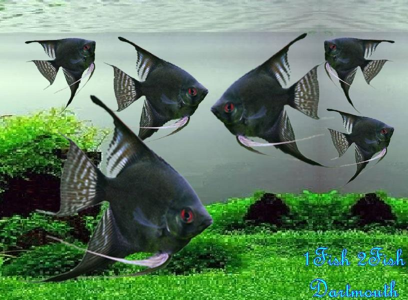 "Black Angelfish ""Pterophyllum Scalare"""