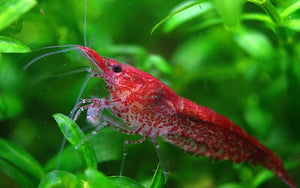 "Red Cherry Shrimp ""Neocaridina davidi"""