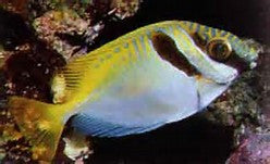"Double Bar Rabbitfish ""Siganus virgatus"""