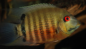 "Mouth Brooding Severum - ""Heros Severus"""