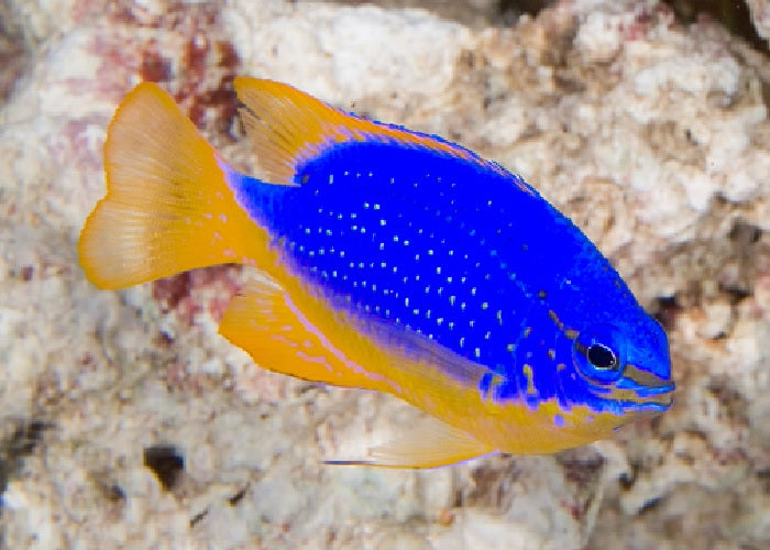 "Blue Devil Damselfish Fiji ""Chrysiptera taupou""- Med"