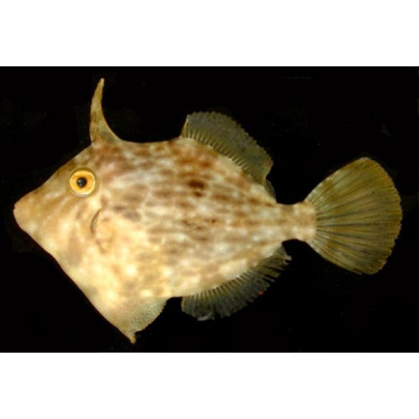 "Green Filefish ""Monacanthus hispidus"""