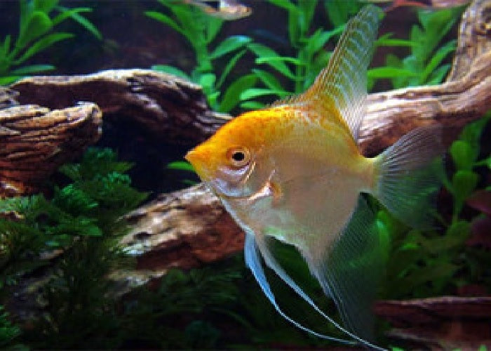 "Gold Angelfish ""Pterophyllum Scalare"""