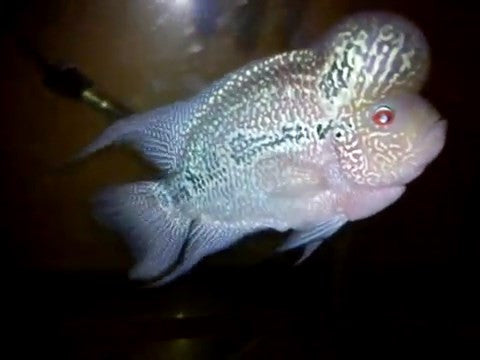 Green Dragon FlowerHorn