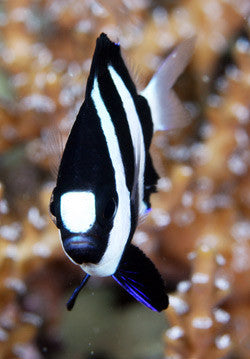 "Three Stripe Whitetailed Damselfish ""Dascyllus aruanus"""