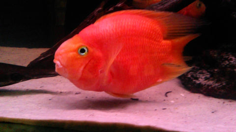 Blood parrot cichlid cichlasoma sp 1 fish 2 fish for Blood parrot fish