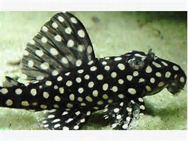 L201 - Orinoco Angel Pleco Hypancistrus sp.""