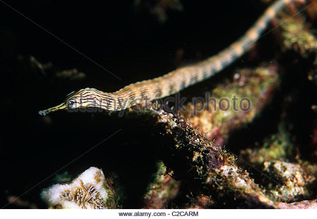 "Australian Messmate Pipefish ""Corythoichthys intestinalis"""