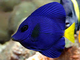 "Purple Tang - Red Sea ""Zebrasoma xanthurum"""