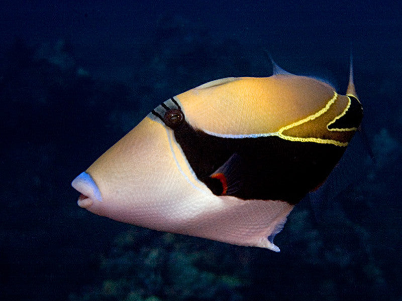 "Humu Reef Rectangle Triggerfish ""Rhinecanthus rectangulus"""