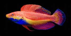Sailfin Fairy Wrasse