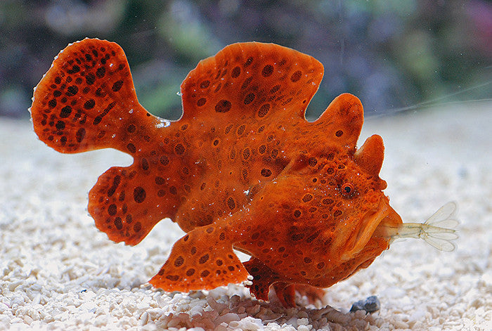 "Frogfishes ""Antennariidae family"""