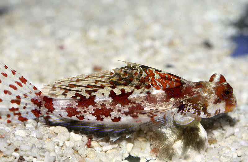 "Red Scooter Dragonet ""Synchiropus stellatus"""