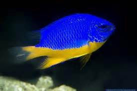 "Blue Yellowbelly Damselfish ""Chrysiptera hemicyanea"""